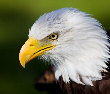 High resolution bald eagle portrait
